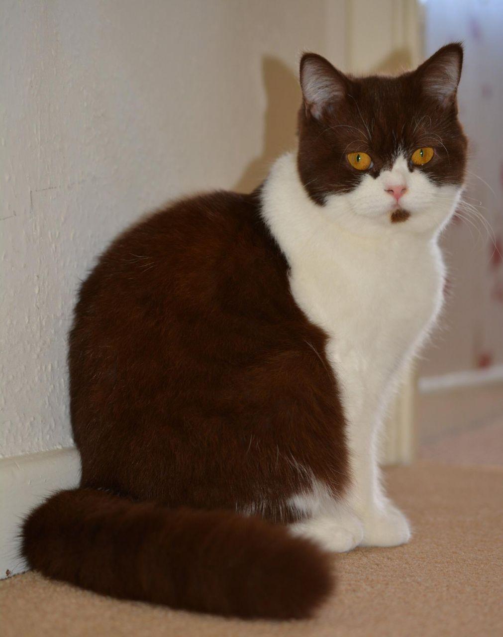 Brown/white British shorthair cat British shorthair cats