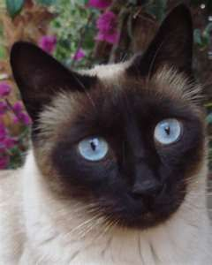 Someday I Will Have An Apple Head Siamese Cat And I Will Name Them Brumley Siamese Cats Siamese Kittens Cats