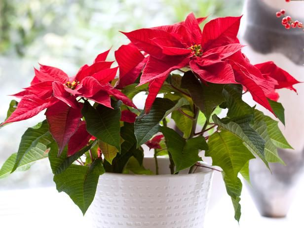 Poinsettia Care Through Winter And Beyond Poinsettia Care Christmas Plants Christmas Flowers