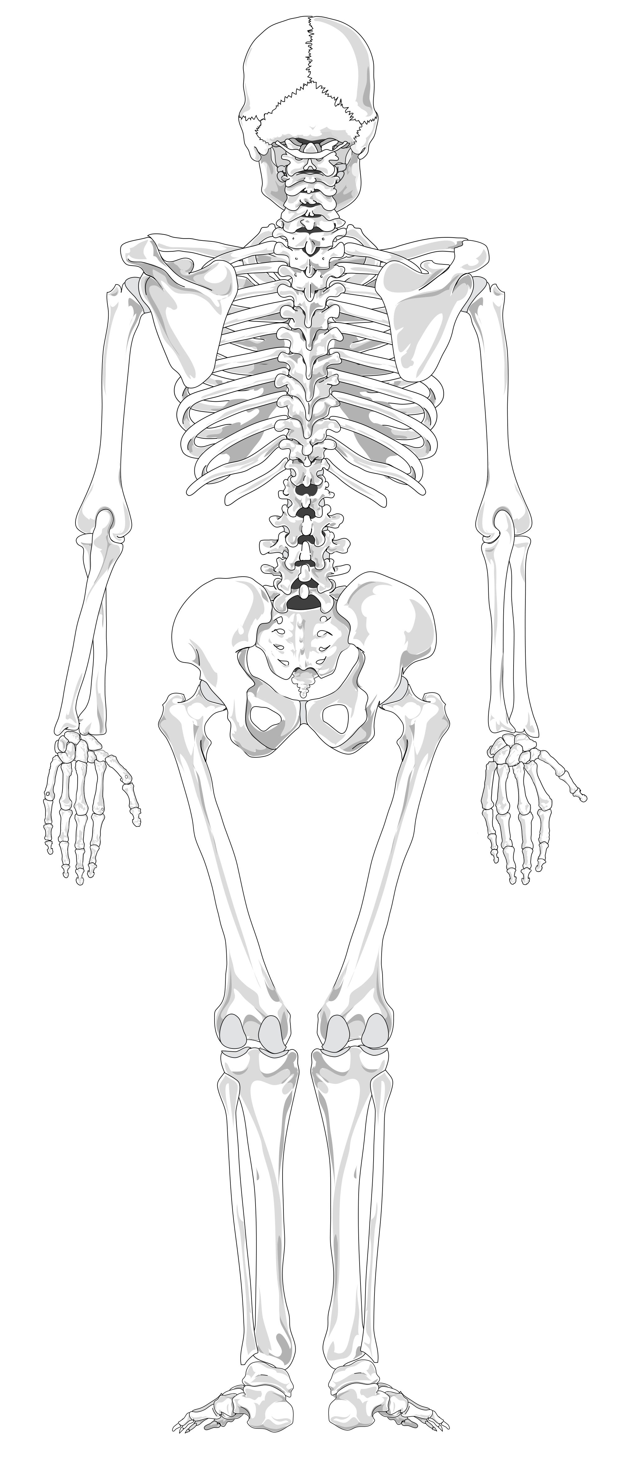 Unlabeled Diagram Of The Human Skeleton With Images
