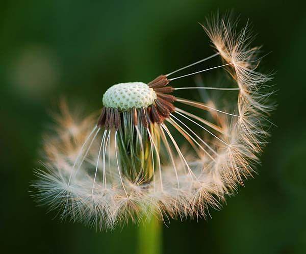 contemporary dandelion head floral - photo #20