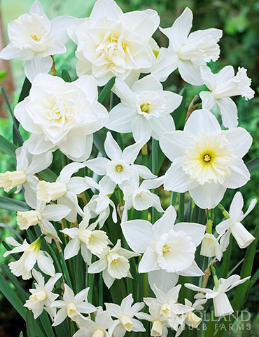 Love Daffodils But Want Something Different Than The Tradition Yellow Add Dazzling White Daffodils To Your Spring Garden Wit In 2020 Daffodils Bulb Flowers Narcissus