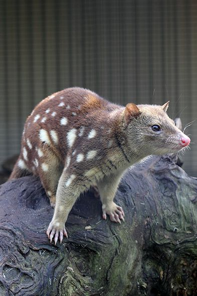 Natural Beauty Great Day Trips From Melbourne Quoll Weird Animals Australian Animals