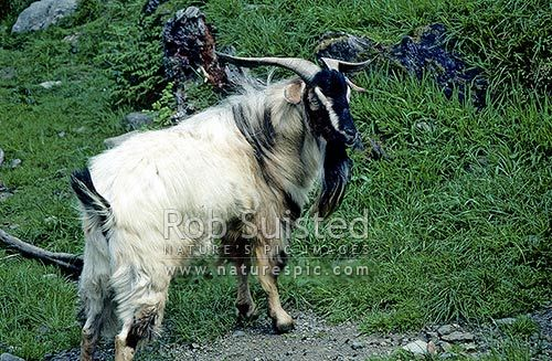 Wild Goat (Capra hirca), New Zealand (NZ)  Cool Tip: The Kiko Breed