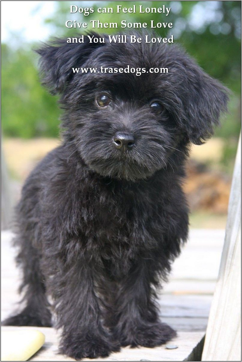 Dogs Need Training Yorkie Poo Puppies Yorkie Poo Designer Dogs