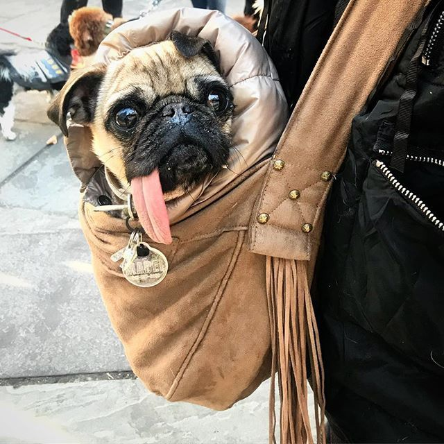 This Is The Proper Way To Walk Me Pugs Cute Pugs Pug Obsessed