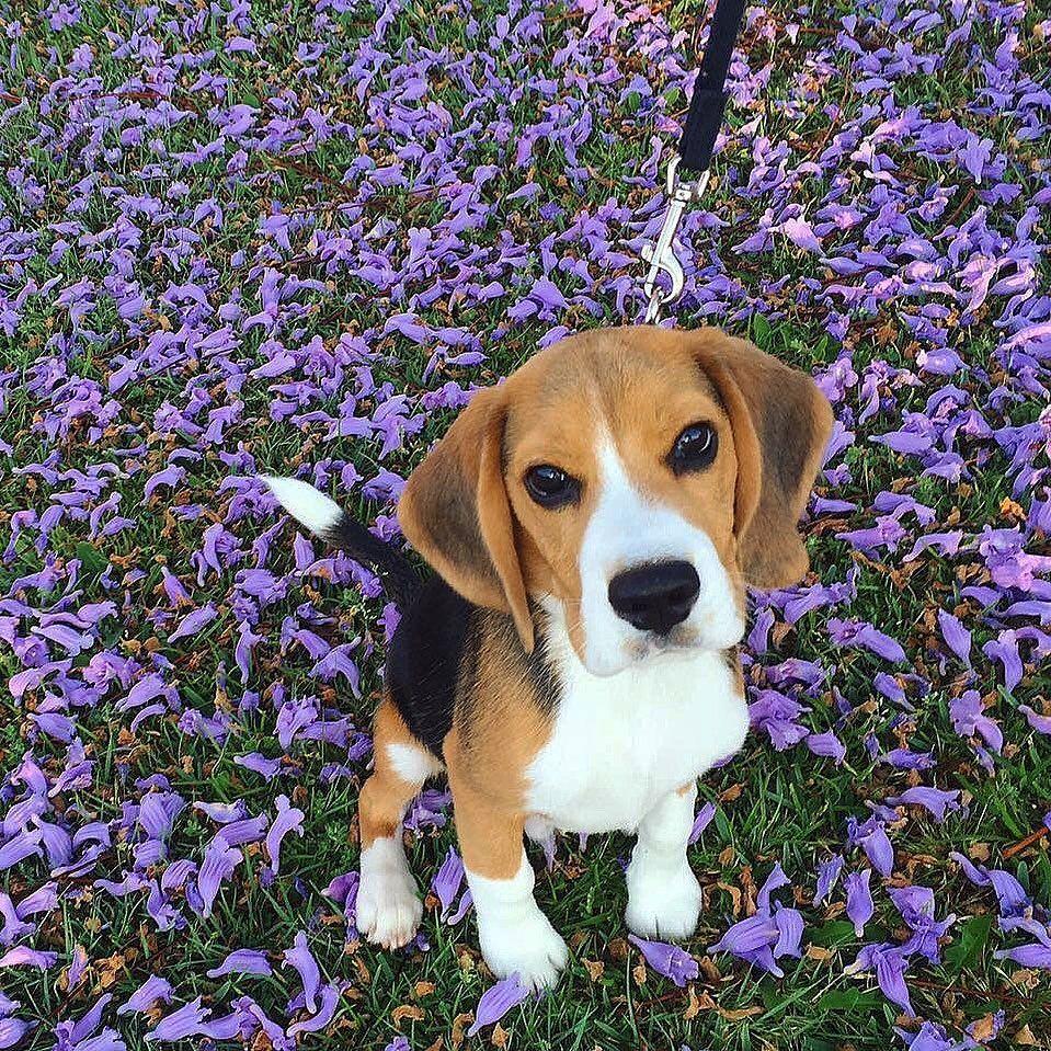 Après tout, cela peut prendre un certain temps pour savoir tout ce que vous devez savoir sur votre nouveau chien beagle. Vous avez peut-être pris connaissance de tous ses comportements, de la façon dont il se comporte lorsqu'il a besoin de jouer ou d'un repas. ..... #beagle_features #beagleproblems #beagleslove #beaglecross #beaglefreedom #beaglesmania #beaglesoftheworld #beagle_love_it #beaglemaniacos #beagle_shoutout #beagleworld_features #beagleharrier photo for @ludotaylorthebeagle
