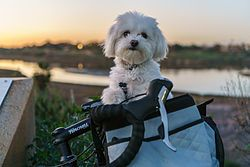 Maltese Dog Wikipedia The Free Encyclopedia An Ode To
