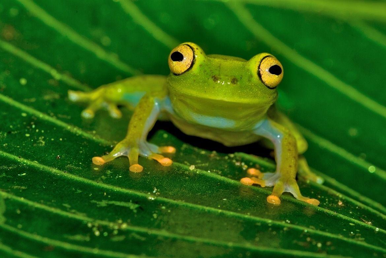 "libutron: ""La Escalera, Guyana - Treefrog (Hypsiboas sibleszi ..."