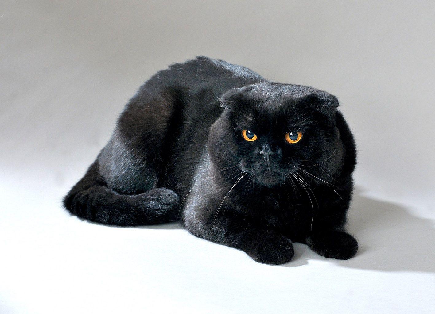Black Scottish Fold With Orange Eyes Want One Gatos