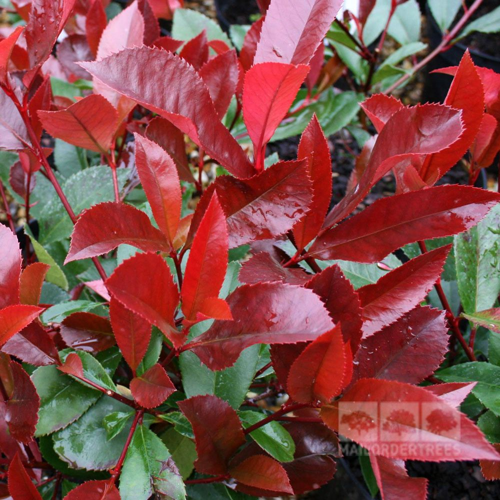 photinia red robin is a glossy leaved small tree with bright red colours in the spring buy. Black Bedroom Furniture Sets. Home Design Ideas