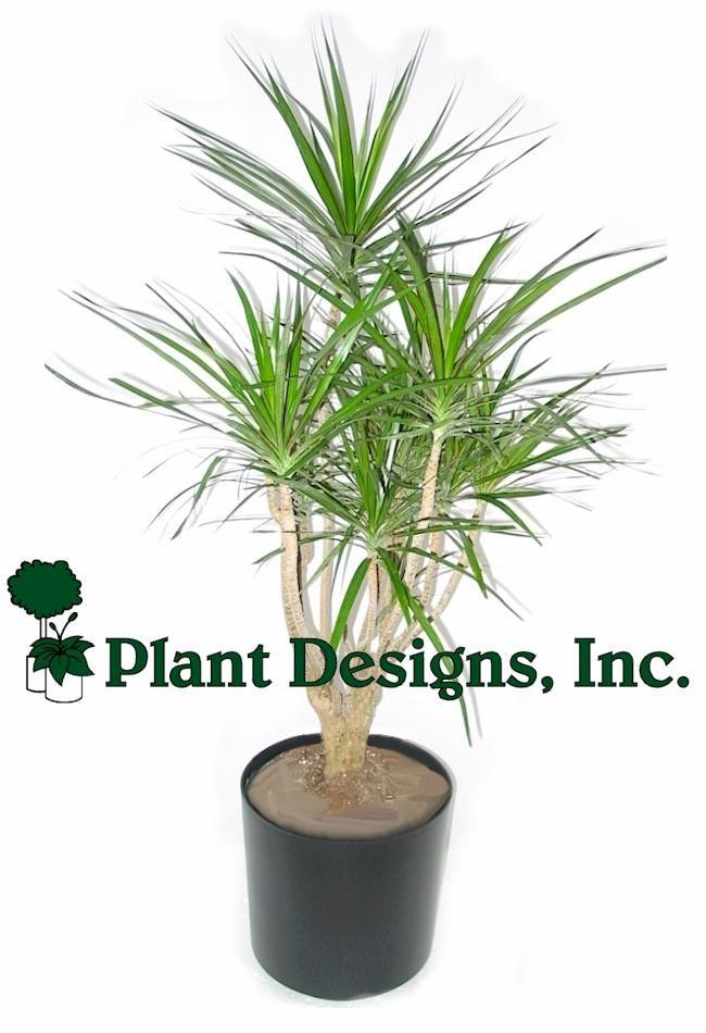 Best Indoor Palm Trees | Indoor Tree Plants Branched Marginata Plant
