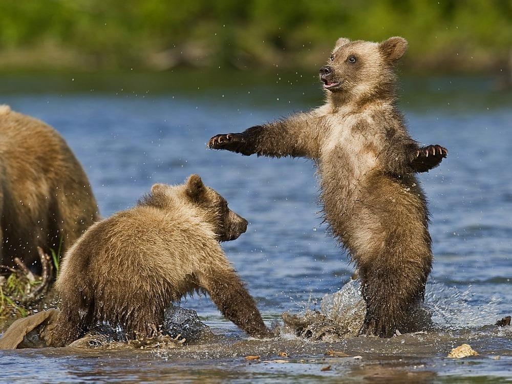 забавные фото бурого медведя далеко все
