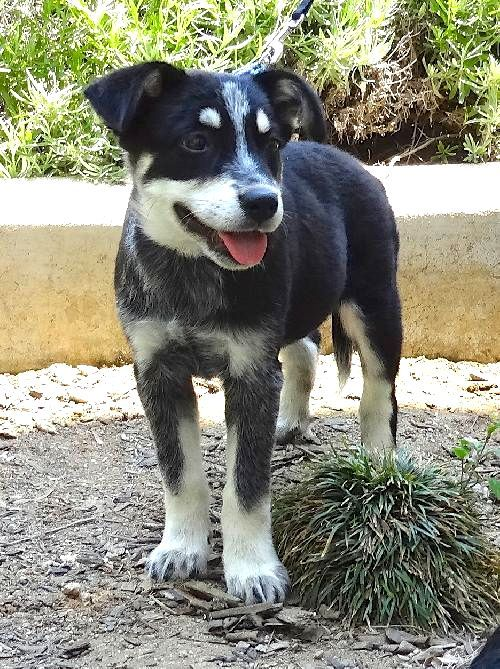 Australian Cattle Dog Siberian Husky Mix Photo Dogs Australian