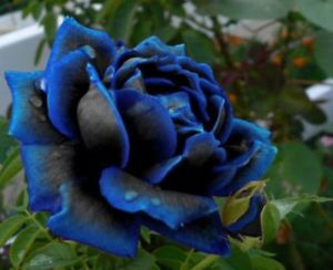 FRESH Blooming Midnight Rose Bush Flower Stratisfied Seeds RARE