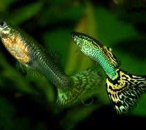 Buy Guppy Fish Online In India Guppy Fish Freshwater Aquarium Fish Aquarium Fish