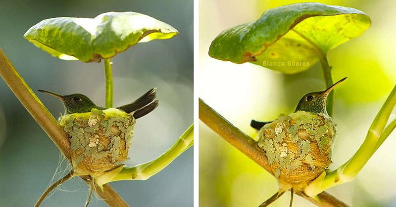 Clever Little Hummingbird Builds A Home With A Roof in