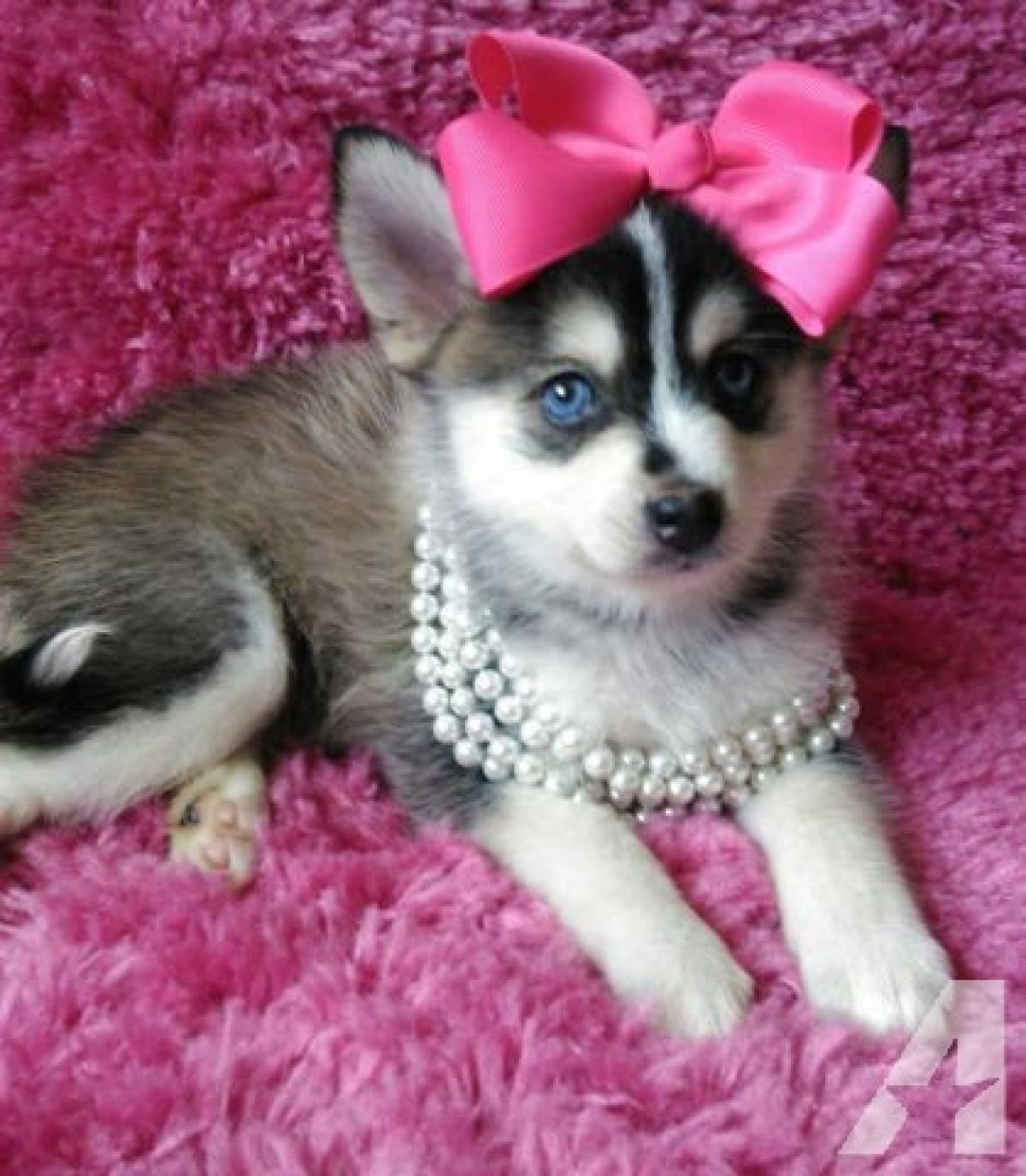 Sweet Siberian Husky Puppies Siberian Husky Puppies Husky Puppy
