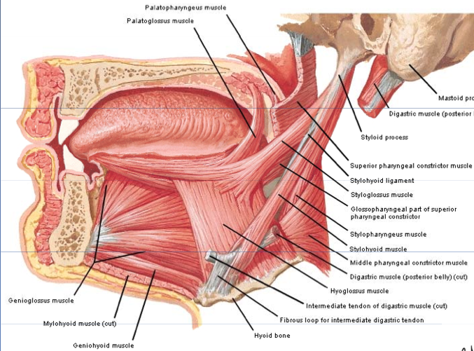 Extrinsic Muscles Of The Tongue Dental Anatomy Oral Anatomy