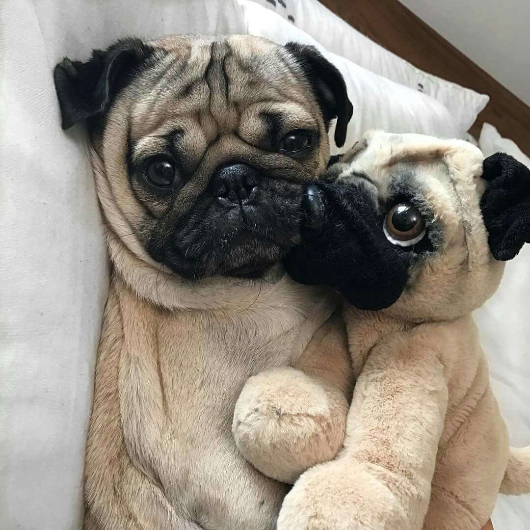 Doug The Pug Pugs Doug The Pug Pug Love