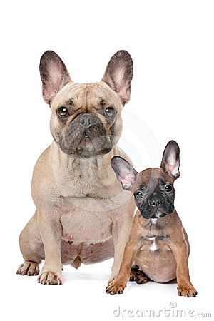 Bulldog Dog Breed Pictures, 1