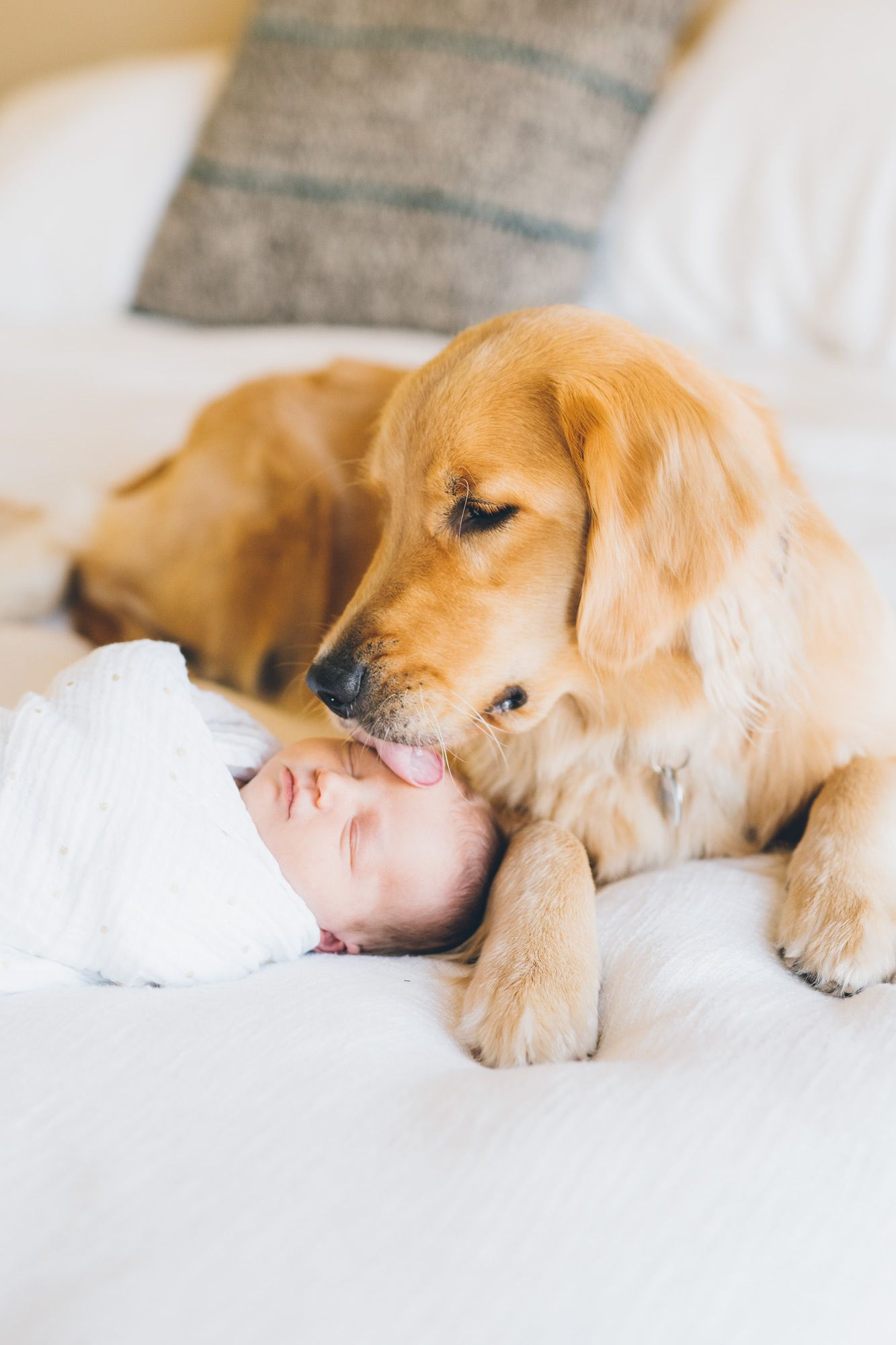 Golden Retriever Puppy Kissing A Newborn Baby Girl During A