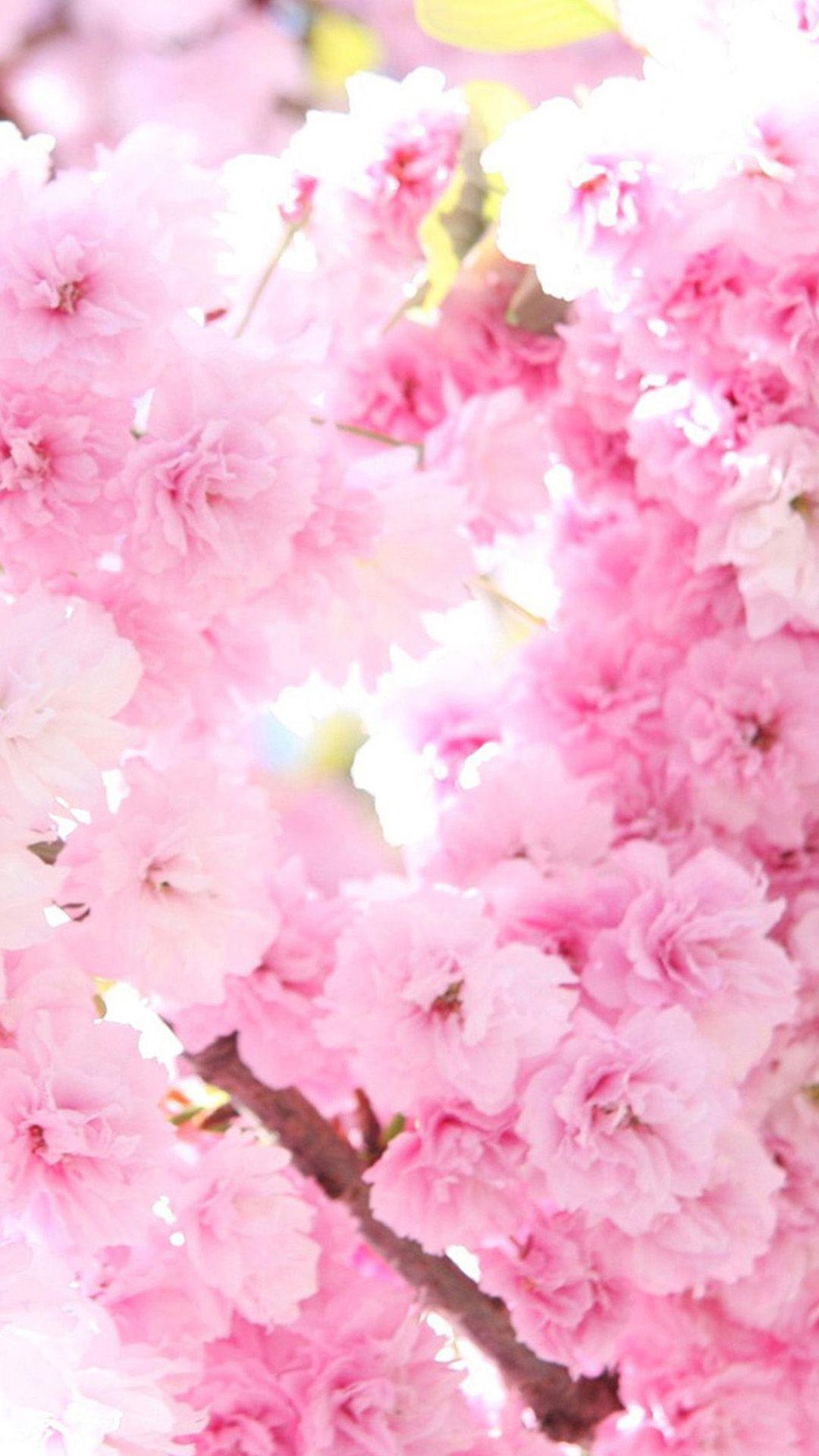 人気75位 鮮やかなピンクの桜の花 桜の花 Iphone 用壁紙 桜 壁紙