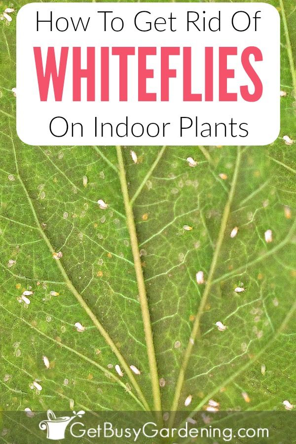 How To Get Rid Of Whiteflies On Indoor Plants For Good