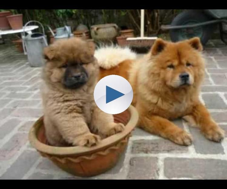 White Chow Chow Puppy Out Of Control Amazing Chow Chow Panda
