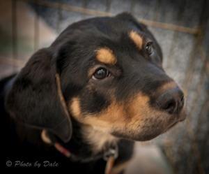 Dixie Is An Adoptable Labrador Retriever Dog In Prescott Az