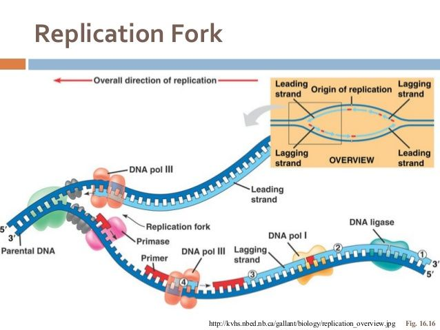 Image result for dna replication fork diagram genetics genomics image result for dna replication fork diagram ccuart Image collections