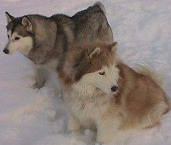 Wooly Coats Vs Regular Length In Siberian Huskies Colors Of The