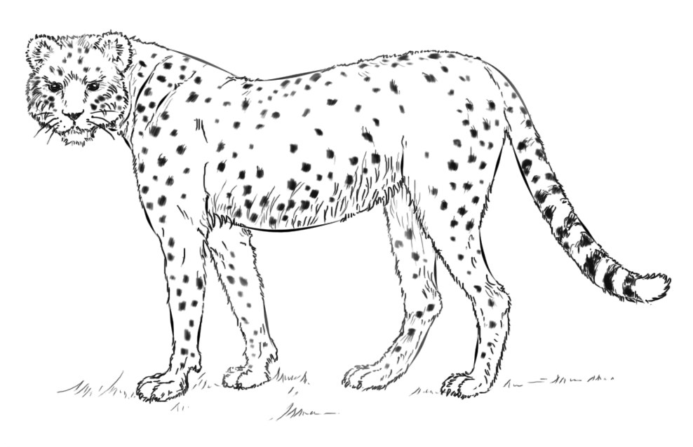 Cheetah Coloring Pages Worksheet School Cheetah Drawing Drawing Tutorial Super Coloring Pages