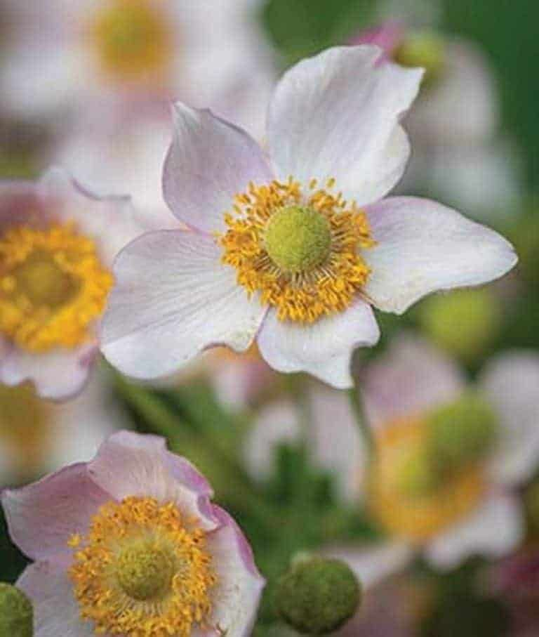 Japanese Anemones How To Grow And Care For These Fall Blooming Flowers Gardening From House To Home Fall Blooming Flowers Anemone Perennials