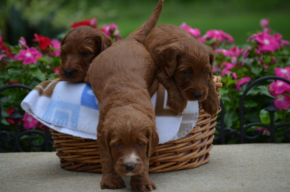 Irishdoodle puppies for sale f1b irishdoodle doodle