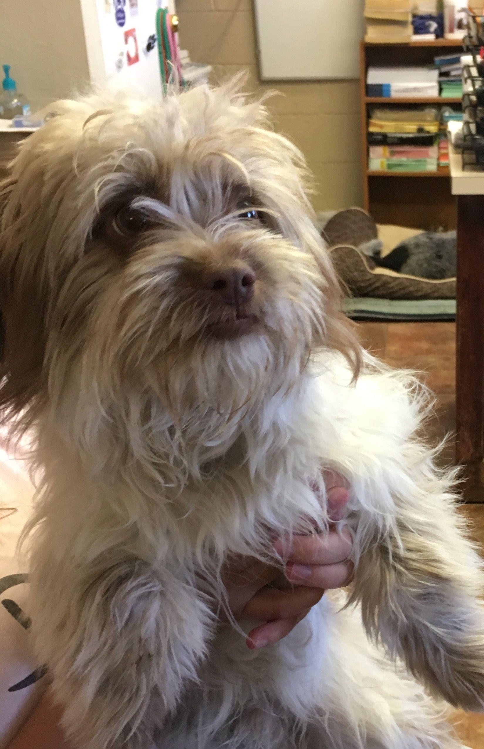 Shih Tzu Dog For Adoption In Amarillo Tx Adn 474273 On