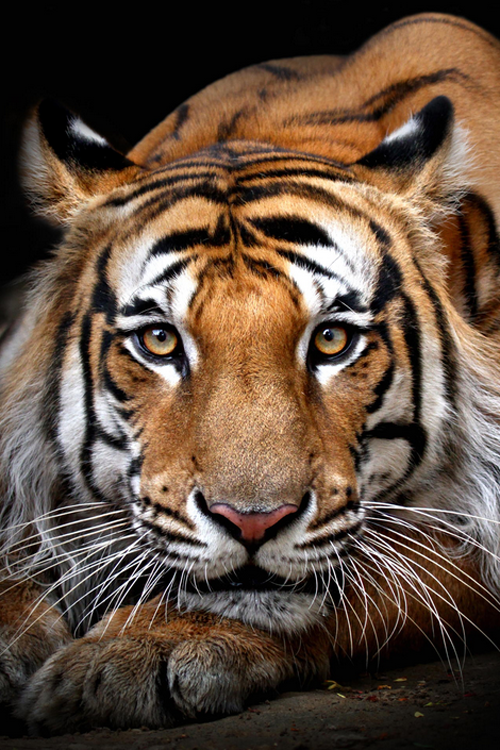 "atraversso: "" Panthera Tigris by Wildlife Frames """