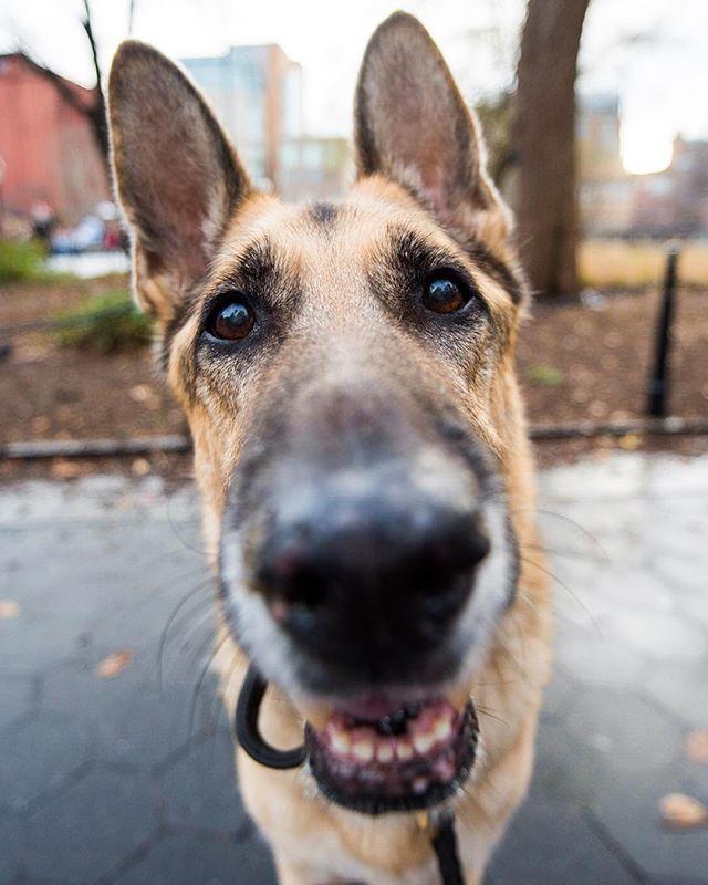 Remy German Shepherd 11 Y O Washington Square Park New York