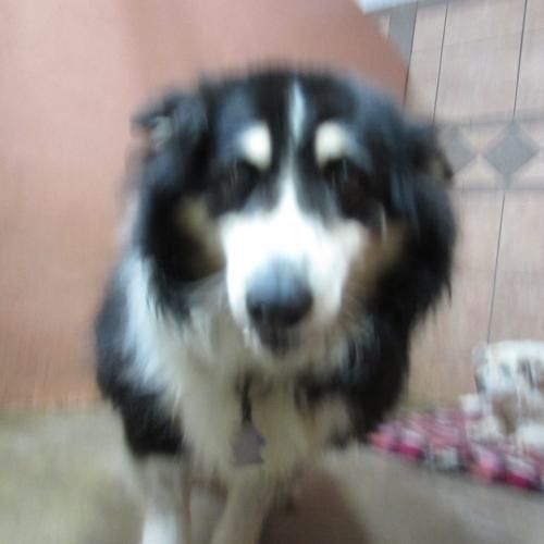 19747 is an adoptable Collie Dog in Deming, NM