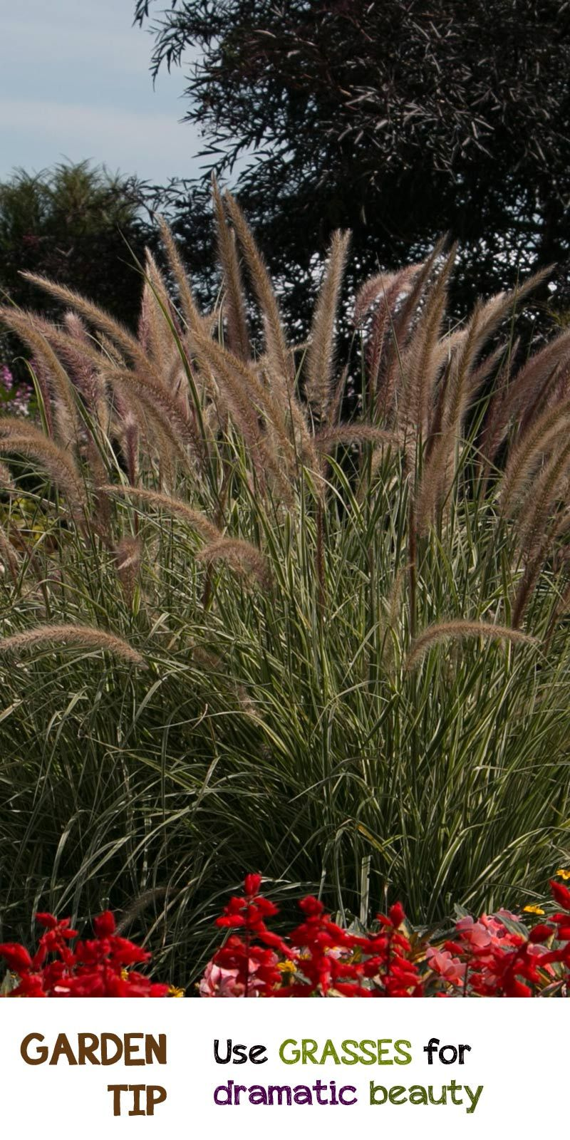 Need some drama in your garden? Annual grasses come in all sorts of ...
