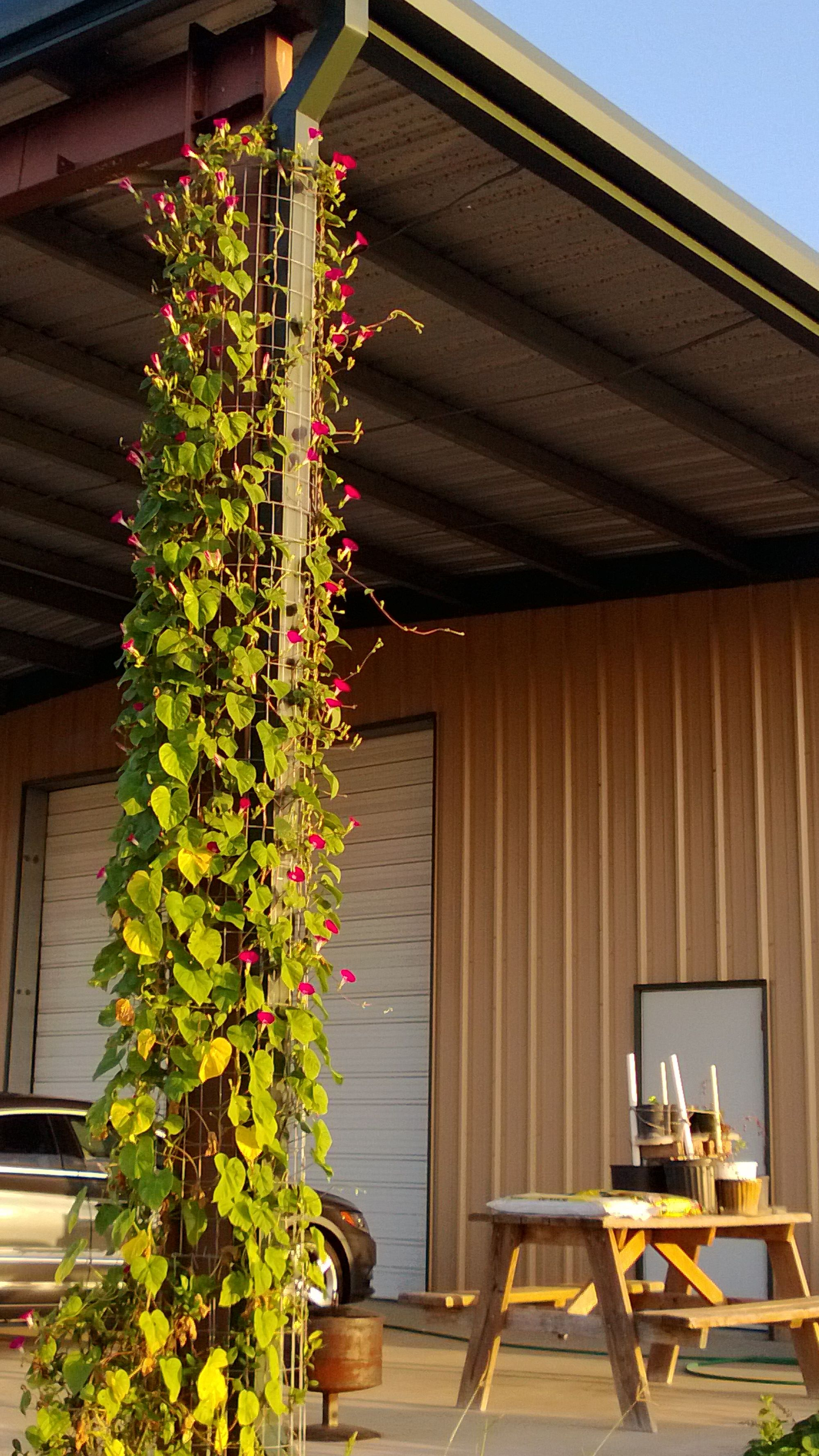 Ust 2013 Morning Glory Trellis 20 Ft Tall And Full Of