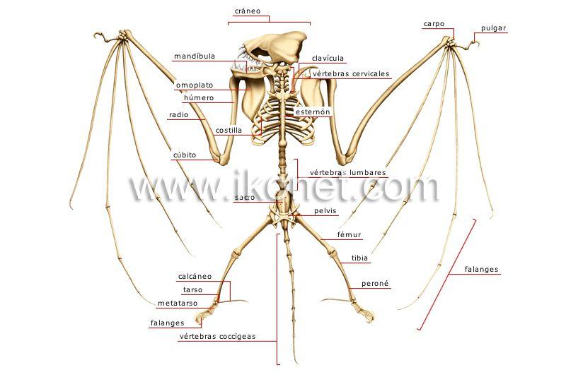 Esqueleto Murcielago   Murcielagos, Esqueleto, Hermanos