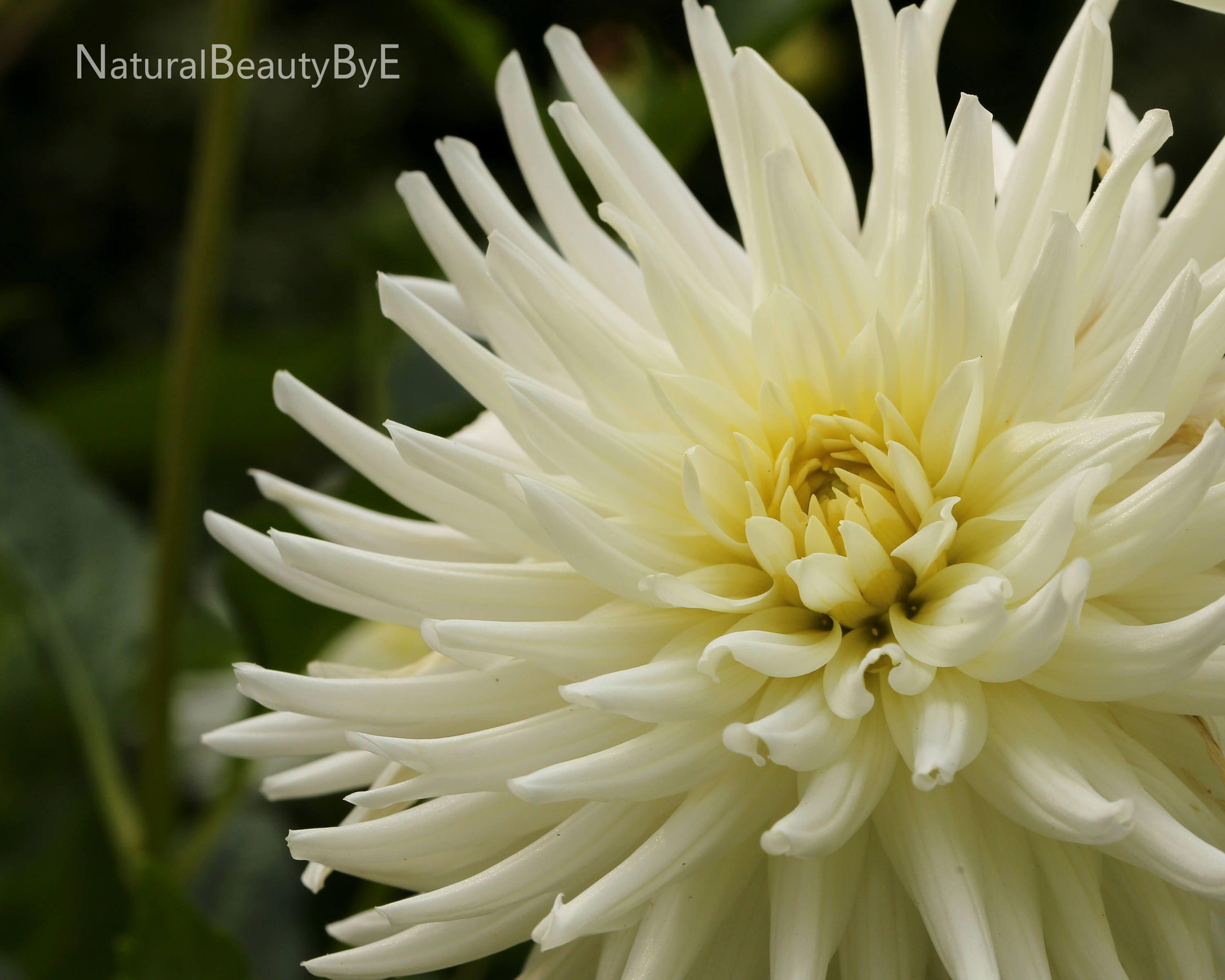 White dahlia art print, floral wall art, flower photography, macro ...
