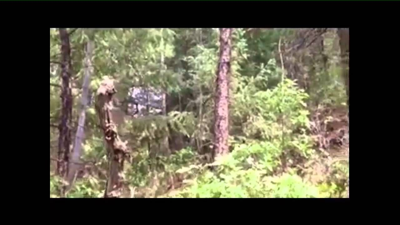 Look at bigfoot run in the colorado forest forest