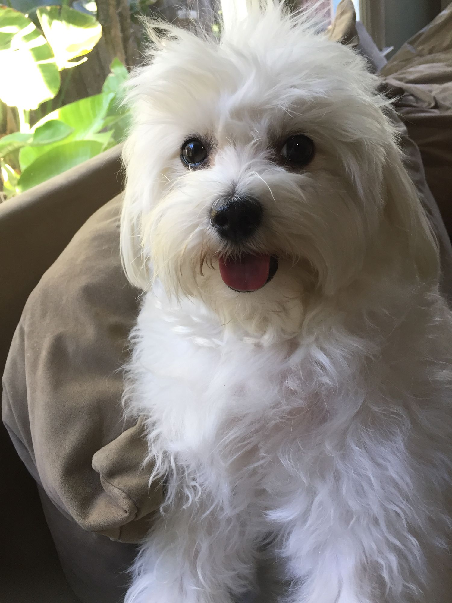 bichon frise maltese mix cleo maltese bichon mix and a very sweet girl doggies 9078