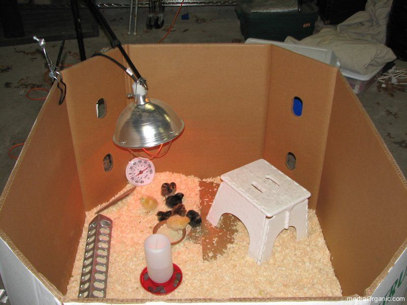 Our Brooder Set Up Baby Chicks Live In A Brooder For The First 6 8 Weeks This Is Set Up In Our