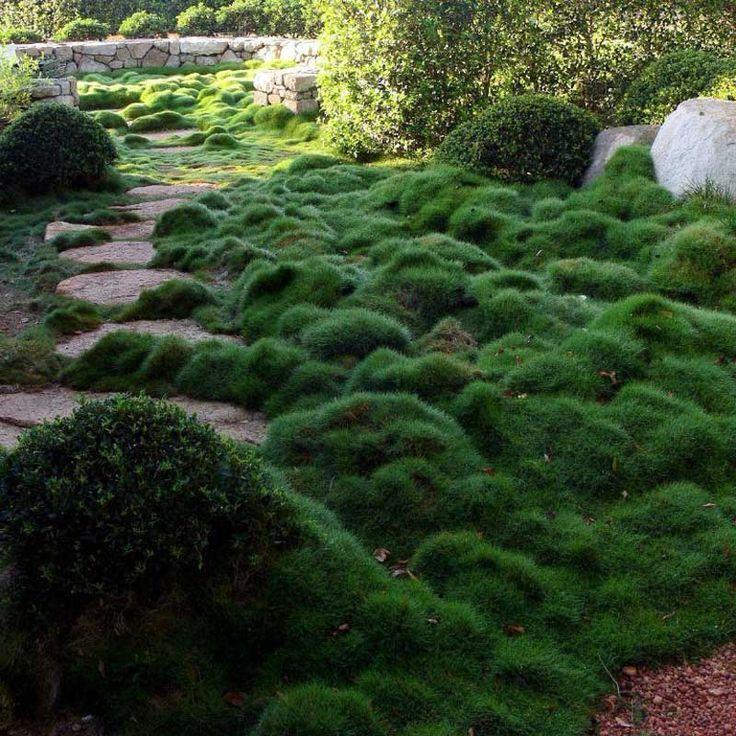 wild grass garden | no mow grass - Zoysia Tenuifolia ... on No Mow Backyard Ideas  id=84745