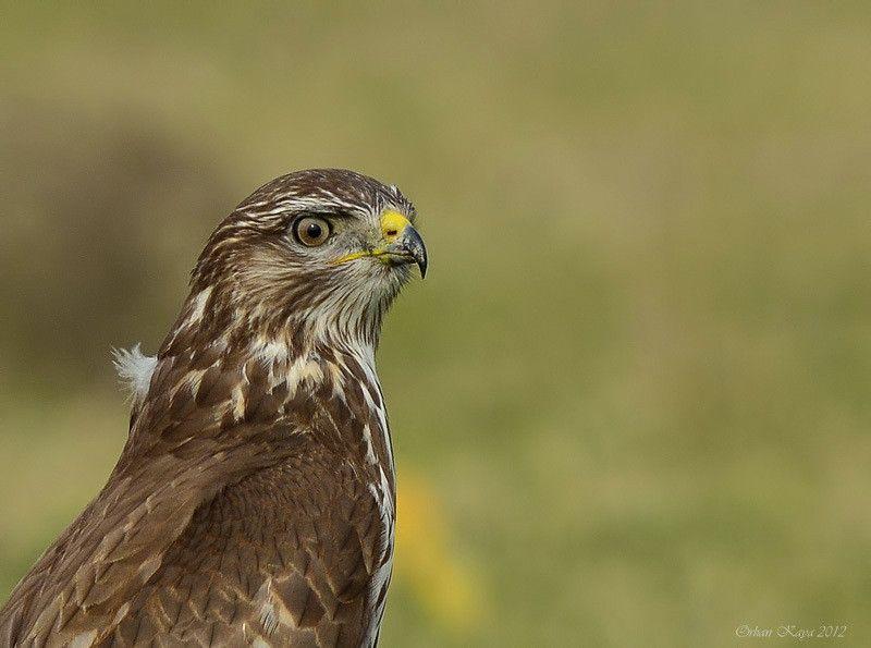 Buteo buteo » Common buzzard by Orhan Kaya on 500px