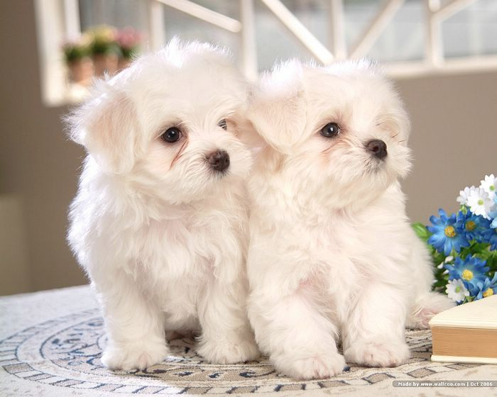 72pics Cuddly White Maltese Puppies Vol 1 1600 1200 White