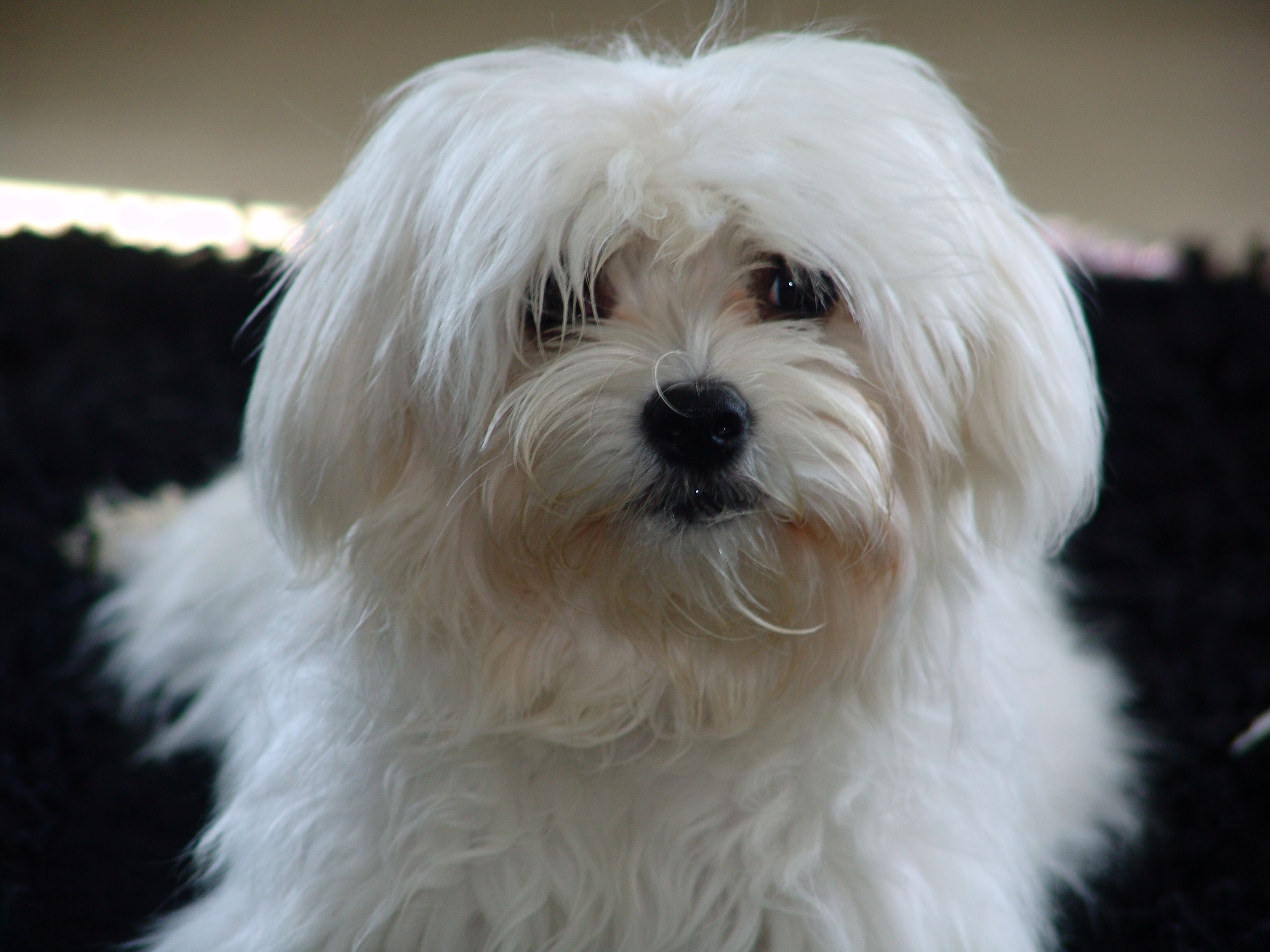 Fancy Maltese Dog With Images Maltese Dogs Maltese Puppy